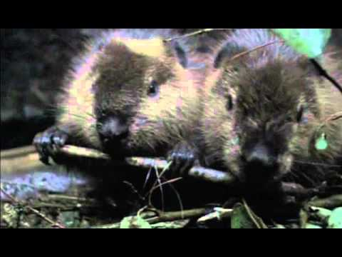 Приключения бобрёнка / Meche Blanche aventures petit castor trailer на русском