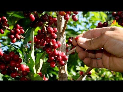 Curso CPT Colheita, Preparo e Armazenagem de Café