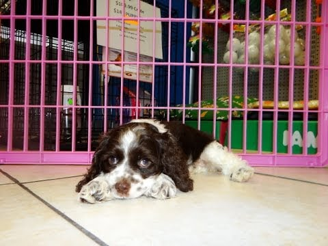 Cocker Spaniel Puppies Dogs For Sale In Norfolk County