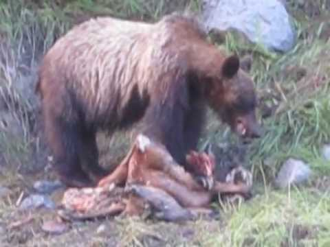 Grizzly eating deer - ...