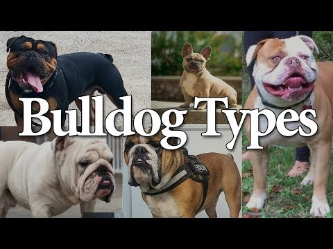 Types of Bulldogs | 4 Bulldog Types that are popular today