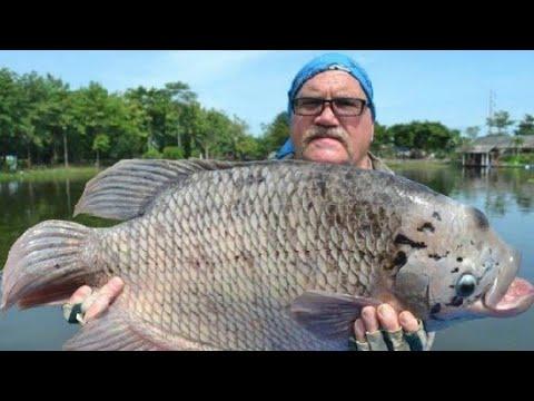 Gilaa Ikan Gurame Terbesar Di Dunia Youtube
