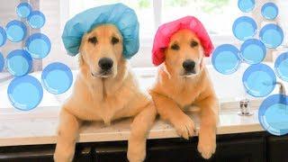 GOLDEN RETRIEVER PUPPIES HAVE BATH TIME!