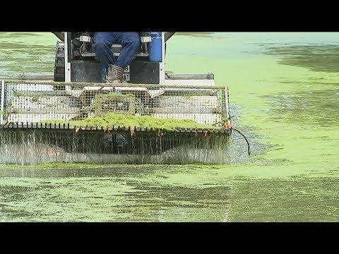 VIDÉO. Lille : les douves de la citadelle Vauban en train d'être débarrassées de leur marée verte de lentilles - - France 3 Hauts-de-France