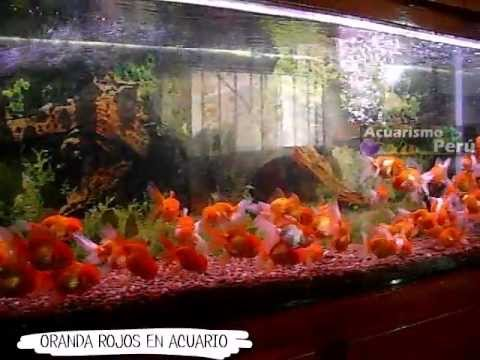 Peces ornamentales doovi for Acuarios ornamentales