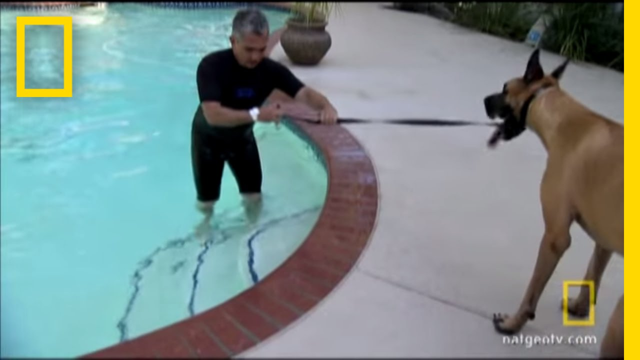 Great Dane Takes The Plunge