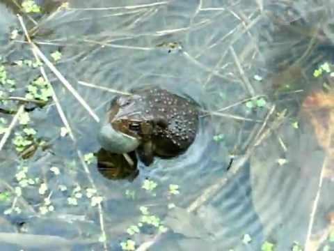 American Toads Calling in Ohio