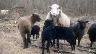 Овцы \\В деревню!