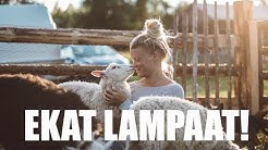 Nyt tuli lampaat! | MAATILAVLOGI | FINNISH HOMESTEAD