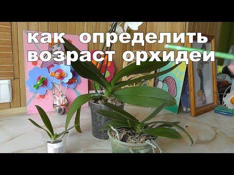 определяем возраст орхидеи Сколько лет живут орхидеи в домашних условиях?