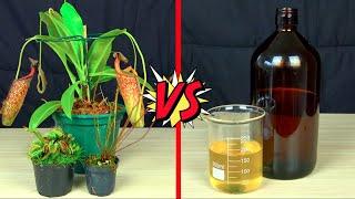 Plantas Carnívoras Vs Estômago Humano | Qual Ácido é mais Poderoso ??