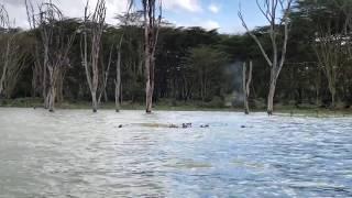 Jak to się dzieje, że te 2 tony tak dobrze pływają? - Lake Naivasha National Park - Kenia - Afryka