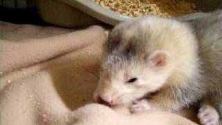 Baby ferret eating a mouse