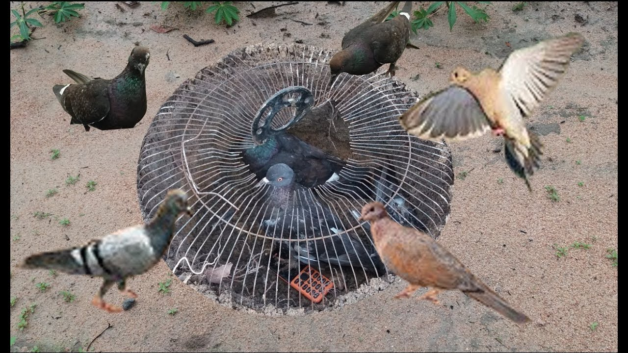 Pi ge oiseaux un pi ge oiseaux g nial comment - Piege a pigeon ...
