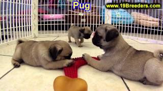 Pug, Puppies, For, Sale, In,omaha ,nebraska, Ne,lincoln, Bellevue, Grand Island