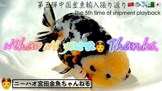 【ニーハオ宮田/NihaoMiyata】金魚ちゃんねる/Goldfish Channel_『第五弾中国金魚輸入振り返り🇨🇳🐟✈️🚛👲🇯🇵/The 5th time shipment playback』