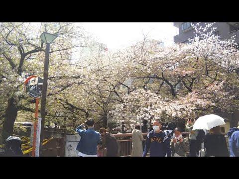 【2021 目黒川の桜 開花状況】JAPAN Tokyo walk in Nakameguro【2021.3.19】