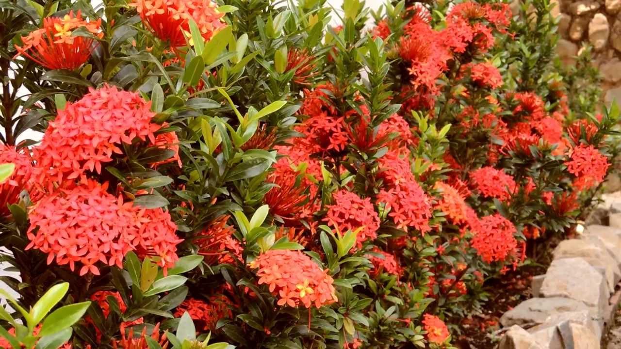 155 flores rojas en jard n efectos naturaleza - Arbusto pequeno con flores ...