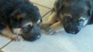 Baron sadie pups 3 weeks old upstairs for first time under the watc...