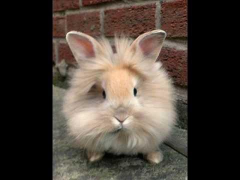 lionhead rabbits   youtube