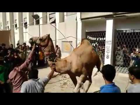 Camel Qurbani 2016 (Alnoor Society Block 19 F. B. Area, Karachi)