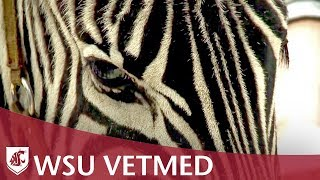 Zebras at the College of Veterinary Medicine, Washington State University