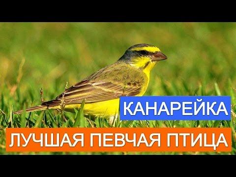 Канарейка лучшая певчая птица. Покупайте канареек.