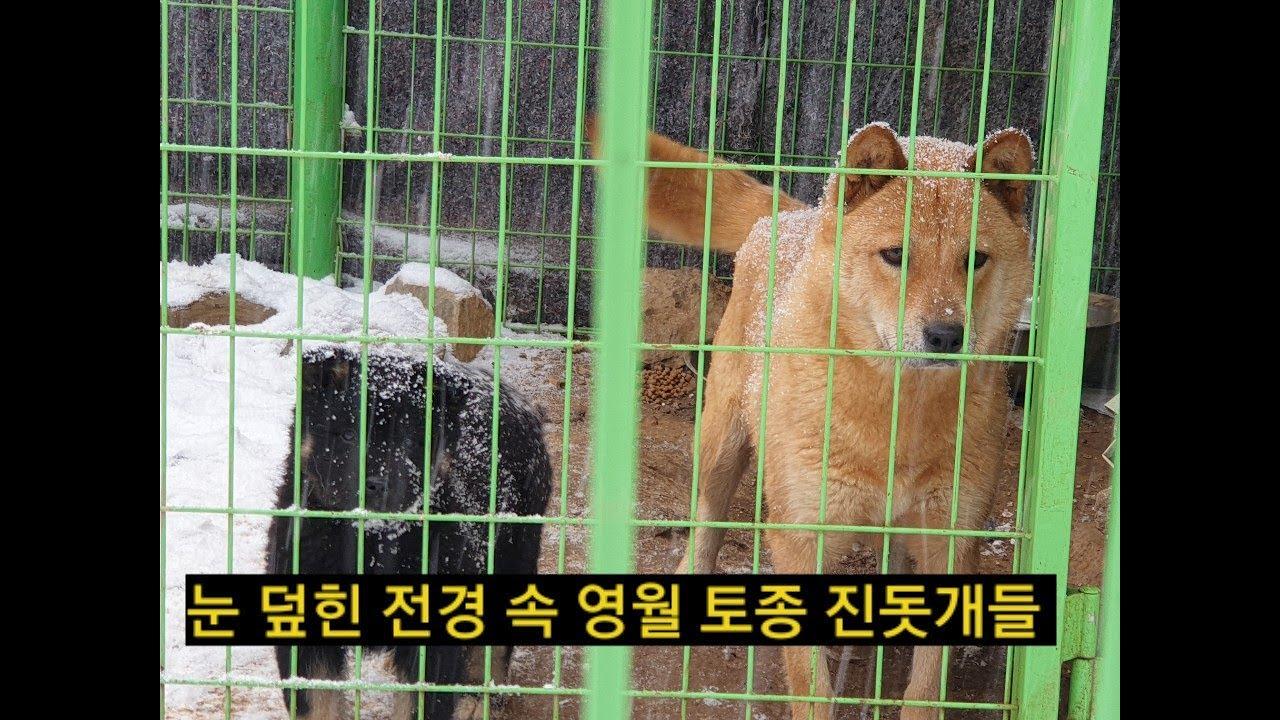 [35] 영월 토종 진돗개들과 눈 덮힌 전경