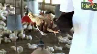 CVM TV Report on Isle Chix Farm