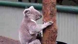 コアラの喧嘩.