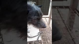 Scottish Terrier mix (bulljack)