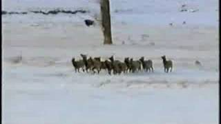 Gray Wolf Kills Elk