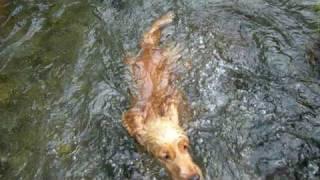 English Cocker Spaniel 鈴華rinkathe Pool To Flow Through