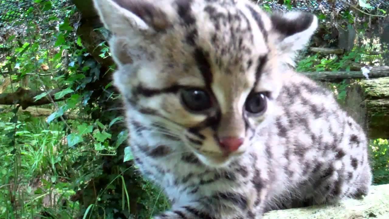 Margay Cat Pet