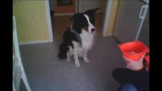 Very Smart Dog Answering by Shaking Head vs Nodding