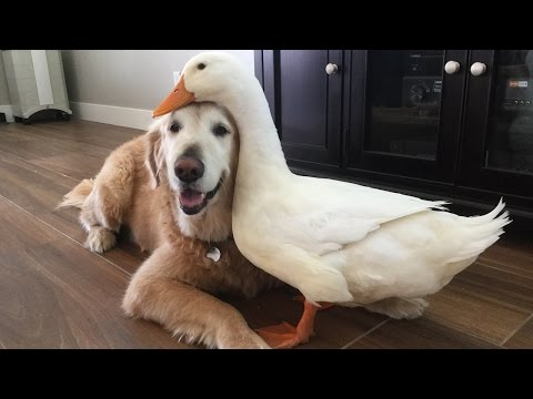 Dog And Duck Are Inseparable Best Friends: CUTE AS FLUFF