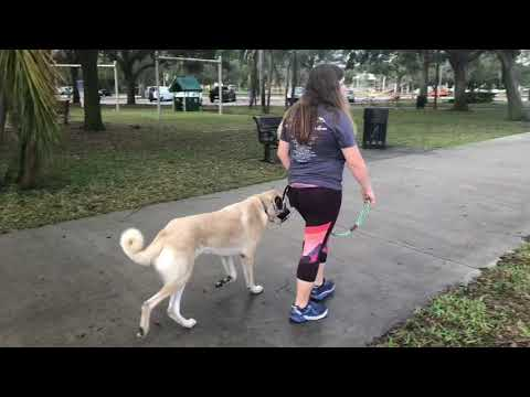 Tarzan and Jane | Anatolian Shepherds | Family Dog Training