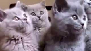 Хор серых котиков и полосатые засоньки