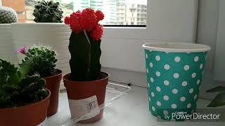 Размножение кактуса гимнокалициума. Собаки детку