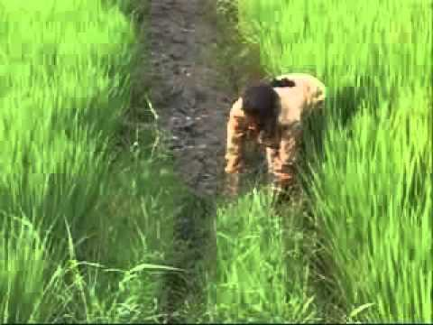 Hybrid Rice Seed Production Technology – India