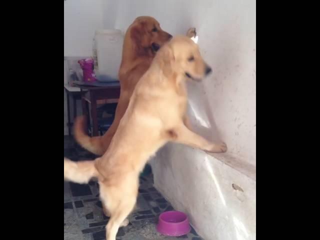Dogs investigating light spot
