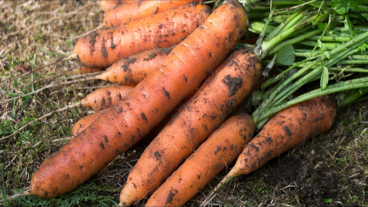 когда сажать морковь под зиму на урале