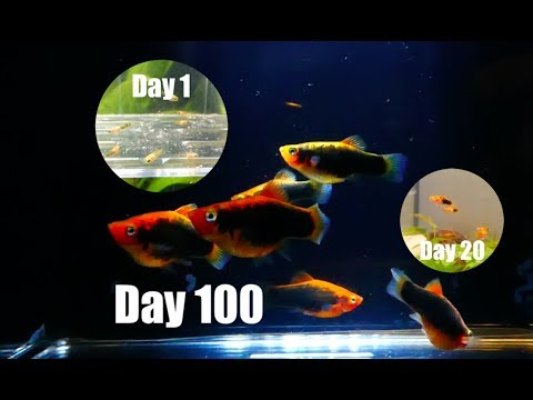 Platy Fish Life Cycle (Breeding Project)