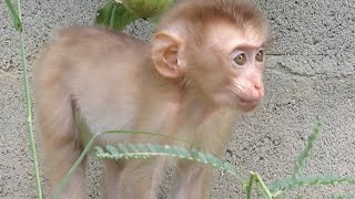 Cute Baby Monkey orphan Learning Walk and Running In The Field,Looks Very pity