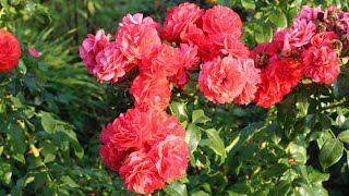 Какие розы выбрать? В гостях у Натальи Петренко.