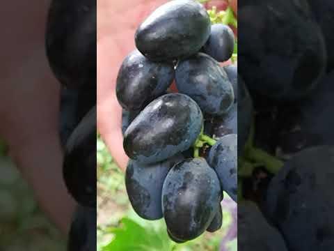 Сорта винограда Калугина