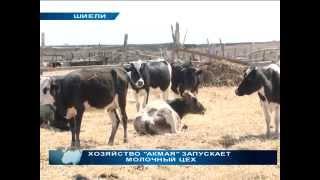 Умные телки живут в Шиели, Кызылорда. Коровы, как собаки. У каждой свое имя!!!