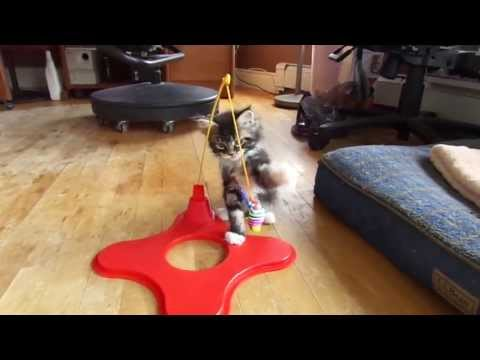 Maine coon kitten plays with her toy
