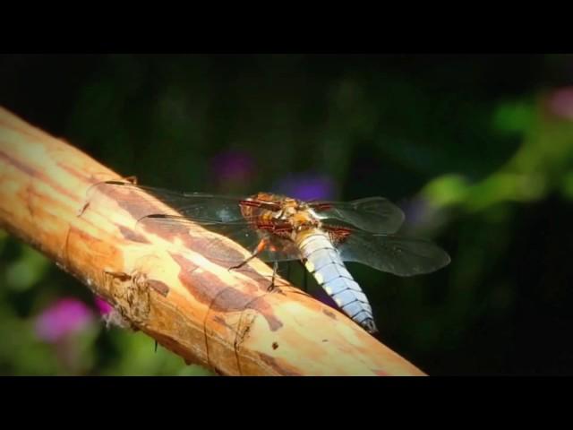 Dragonfly /Szitakötő / Laposhasú acsa (Libellula depressa)