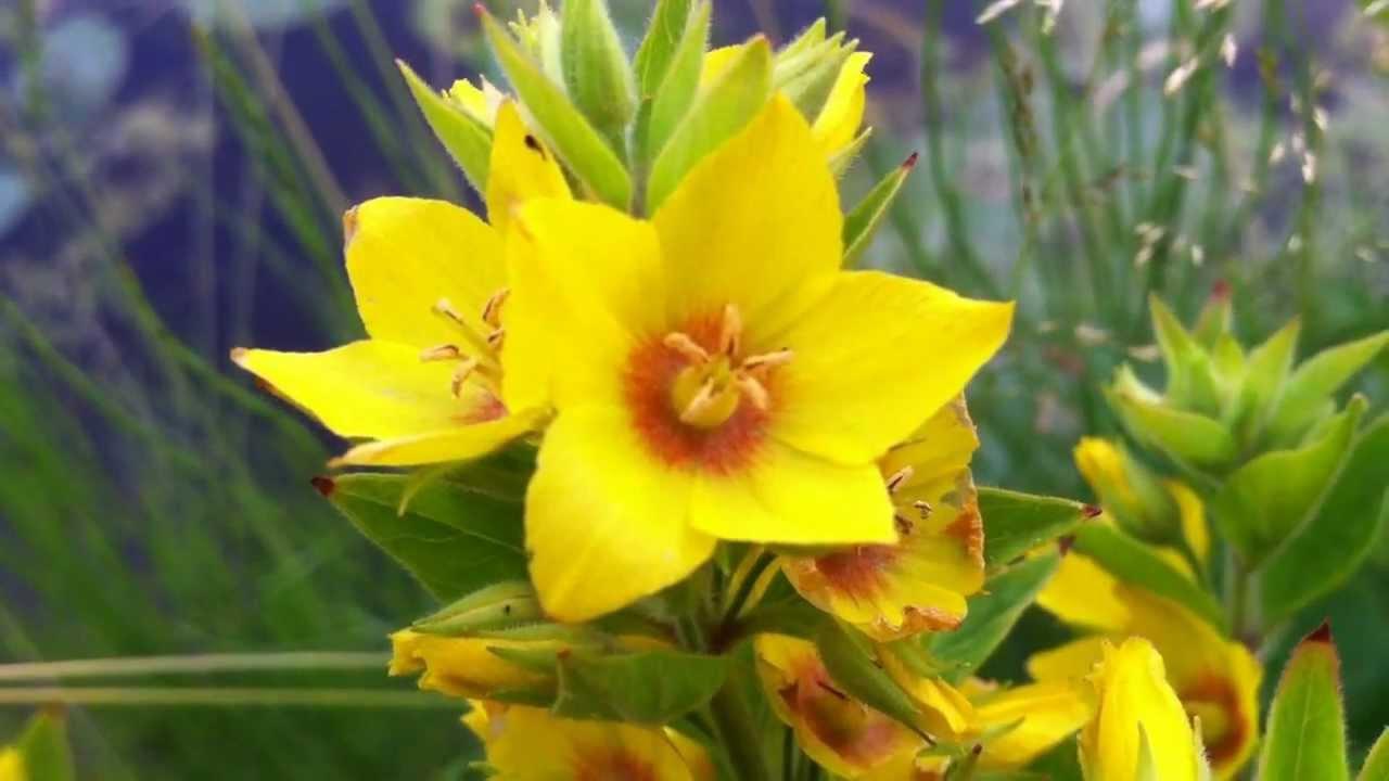 Dotted loosestrife lysimachia punctata large yellow loosestrife dotted loosestrife lysimachia punctata large yellow loosestrife 2012 06 26 youtube mightylinksfo
